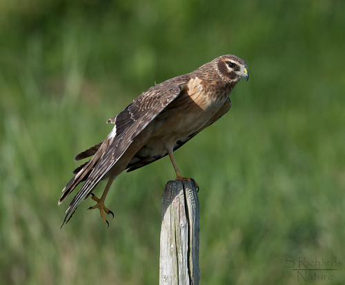 Northern harrier, female | by Through The Big Lens
