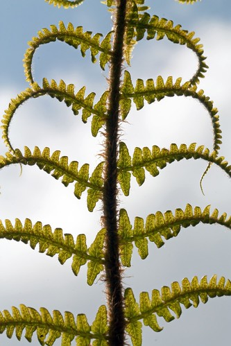 Ferns Unfurling | by Dr Steven Murray