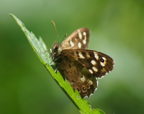 Speckled Wood | by Wendy Wino Marks