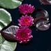 Nymphaea cv James Brydon LG 6-24-12 1331 lo-res