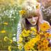 wild daisies of New Hampshire