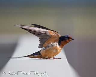 Barn Swallow Checking Wing Flaps | by Michael Pancier Photography