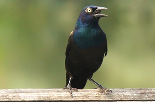Surprised grackle | by Ducklover Bonnie