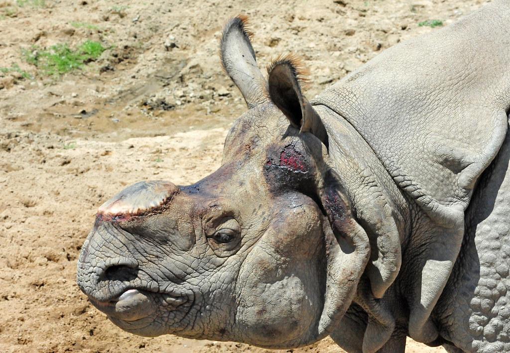 Bhopu The Greater One Horned Male Rhinoceros Rhinoceros U