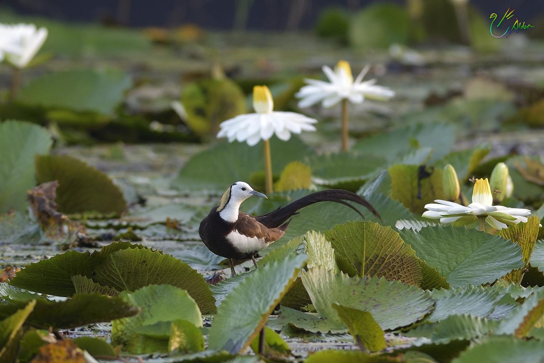 Pheasant-tailed_Jacana2067