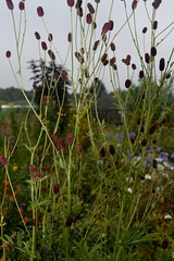 SANGUISORBA 'Red Busby'