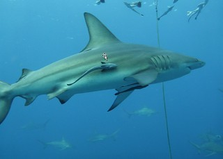 Shark and Remora | by Nomad Africa Adventure Tours