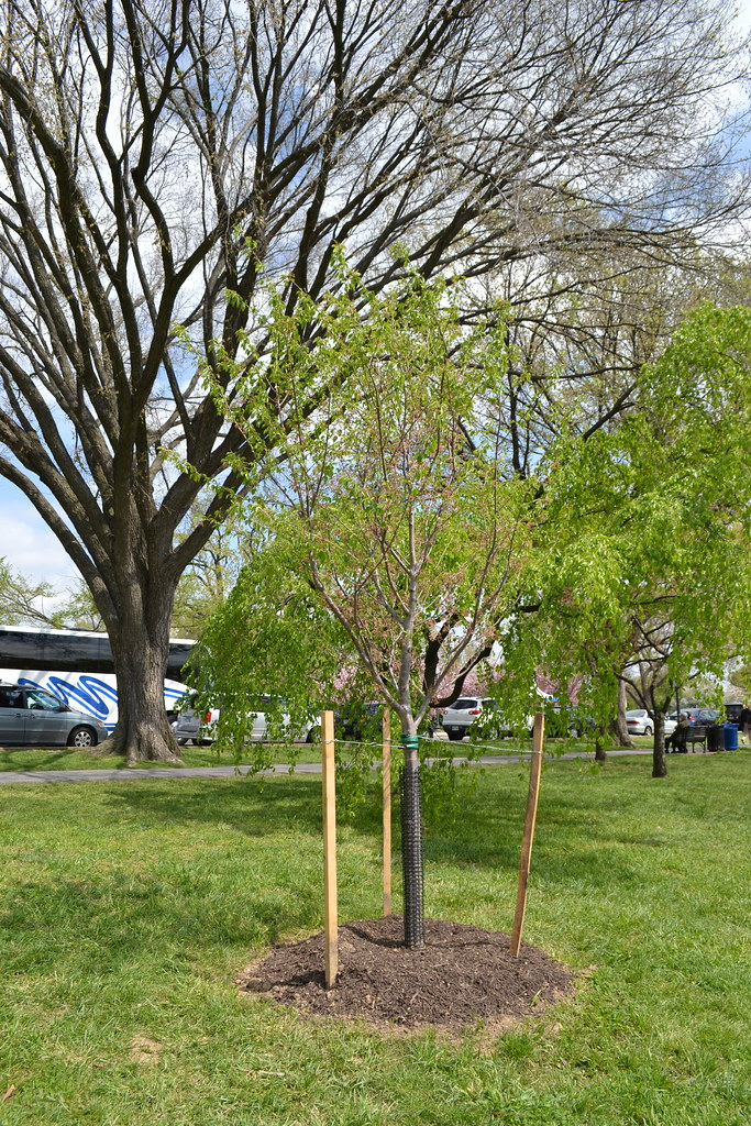 Centennial Cherry Blossom Tree Planted By First Lady Miche