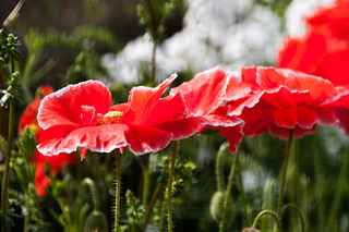 Poppies | by Travels with a dog and a Camera :)