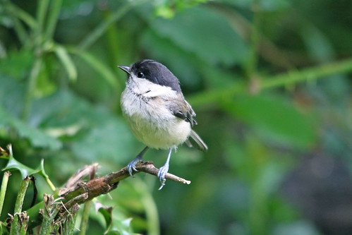 Willow Tit | by S C photos
