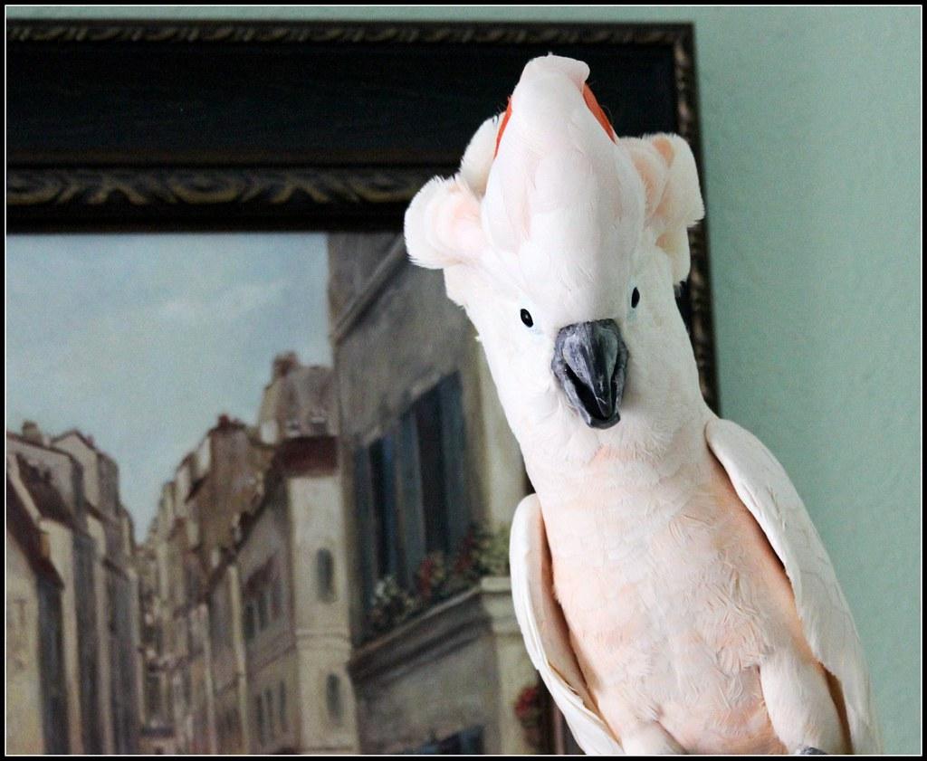 Pink Moluccan Cockatoo