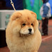 wonderful chow chow @ Tallinn Winner dog show