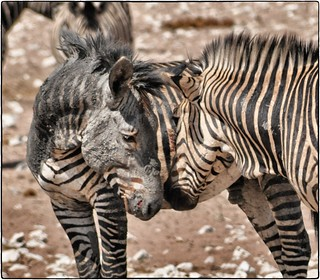 Mountain Zebras | by gvst*