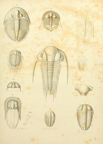 dorsal habitus of several trilobites