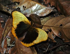 Scalloped Yellow Glider (Cymothoe fumana fumana)