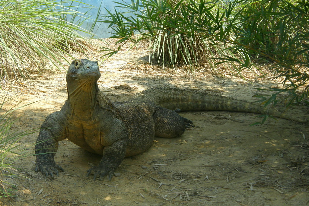 Jacksonville Zoo Jacksonville Zoo Komodo Dragon Jack