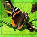 (butterfly) farfalla