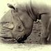 Black rhino 06
