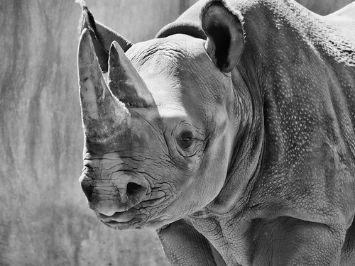 Black rhino 03 | by Podsville