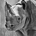 Black rhino 03