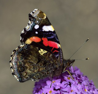 A Red Admiral At last! | by Chrissie28IWish! ~ hubby passed away 5th Dec peace