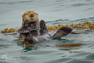 Sea Otter floating in kelp | by betty wiley