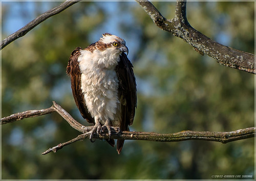 Osprey - Explored Sep 11, 2012 | by Chris Lue Shing