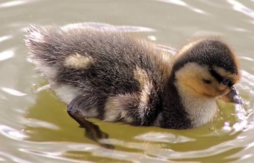 Duckling | by Jacksters26