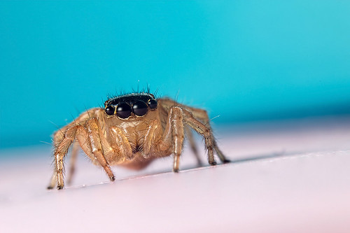 Araignée sauteuse / Jumping spider (Salticidae : Saitis Barbipes, female ♀) | by bEOSien87