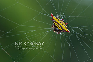 Spiny Back Orb Weaver Spider (Gasteracantha diadesmia) - DSC_4242