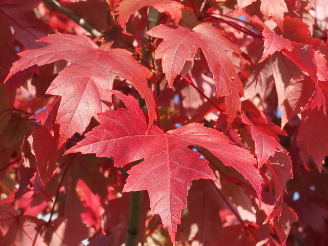 red maple tree leaves maple tree with vibrant red leaves