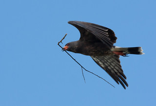 Snail Kite with Nesting Material | by Photomatt28