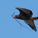 Snail Kite with Nesting Material
