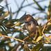 Harris's Sparrow, Chester, ID 2012