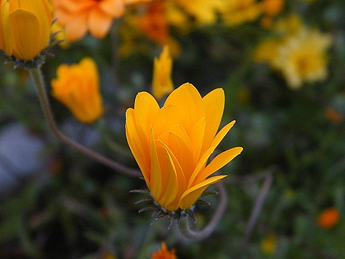 Yellow flower | by Piet Grobler