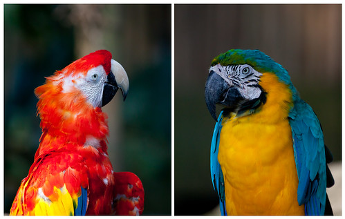 Macaw portraits. | by Joe Dsilva