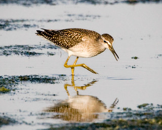 Wood Sandpiper | by peckhamryecrow