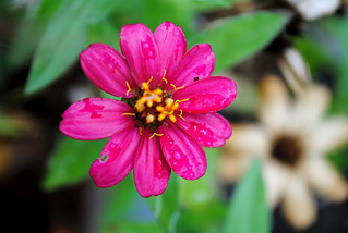 3/365 Pink Flower | by Lindsey Moore Photos