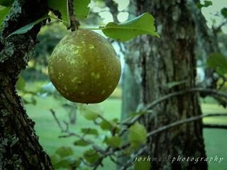 Pear Tree | by Josh Meek