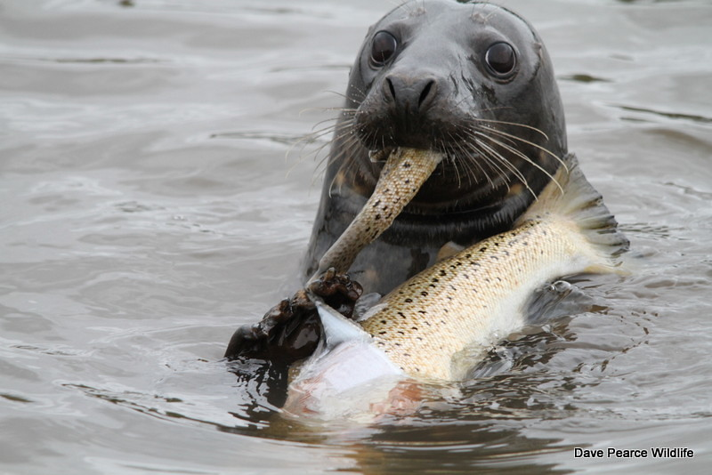 What Food Do Seals Eat