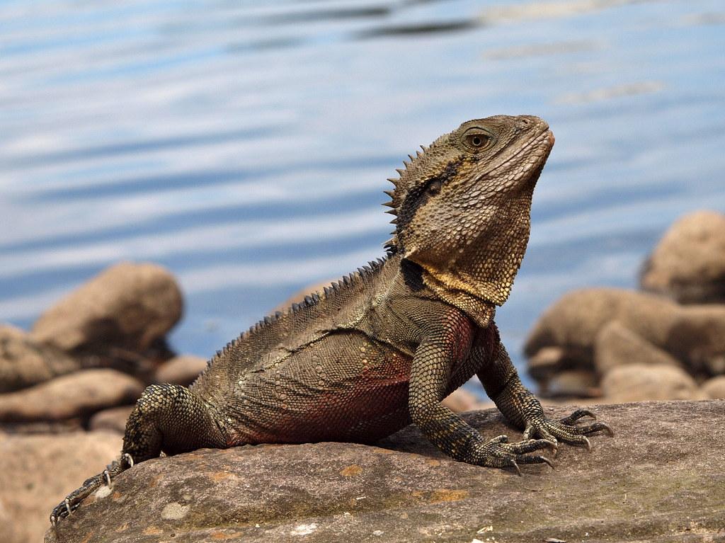 Australian Water Dragon: Australian Water Dragon (male In