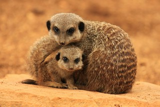 Meerkat Adult and Baby | by TenPinPhil