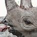 Black rhino 12