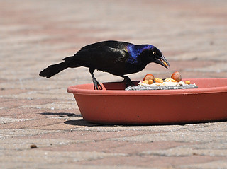 DSC_0953   grackle | by Lorna689
