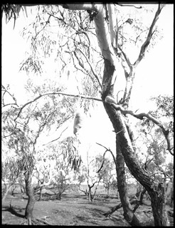 Caterpillar's nest, west of Oodnadatta, South Australia, 1935 [transparency] / | by National Library of Australia Commons