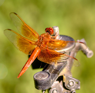 Red Dragonfly on Metal | by Gryffngurl