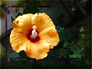 Flower Hibiscus | by Christ Aly