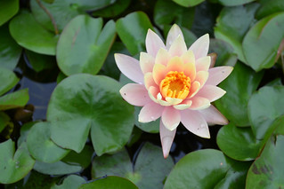 'Peach Glow' Water-Lily | by Brooklyn Botanic Garden