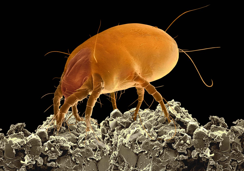 Dust Mite | The Scanni...