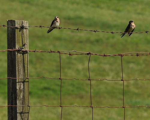 swallows | by geeezelouise
